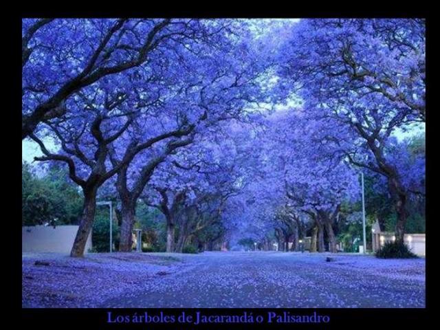 Arboles en violeta