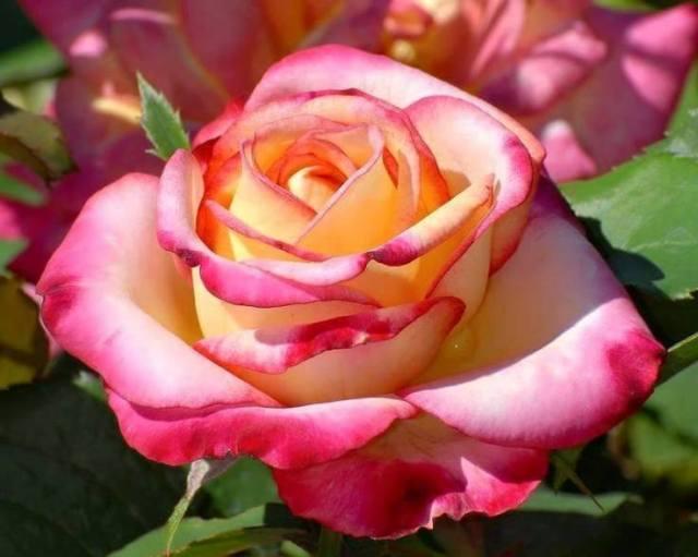 Rosa en su esplendor 2