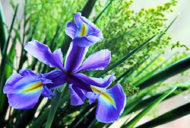 flor-de-iris