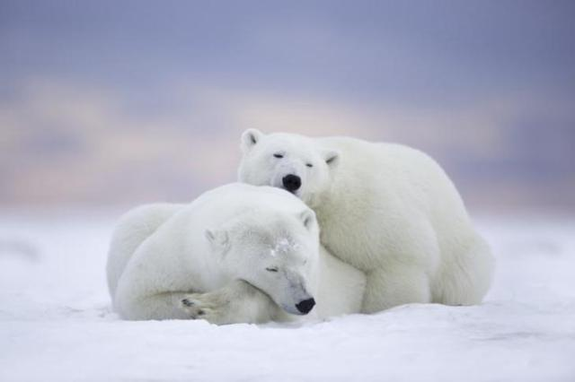 alaska-ositos-fascinados
