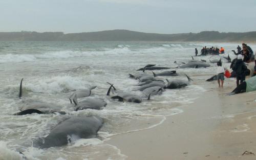 ballenas-varadas-en-nueva-zelanda