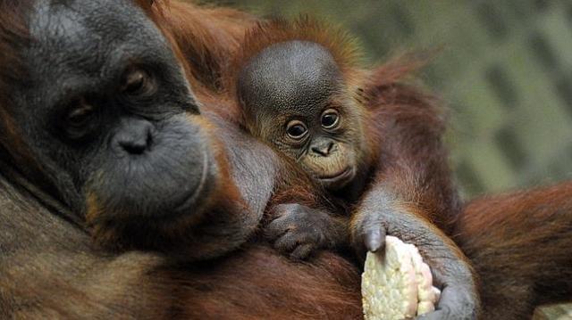 orangutan-madre-hijo--644x362