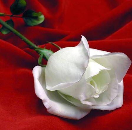 rosa_blanca para paz mental