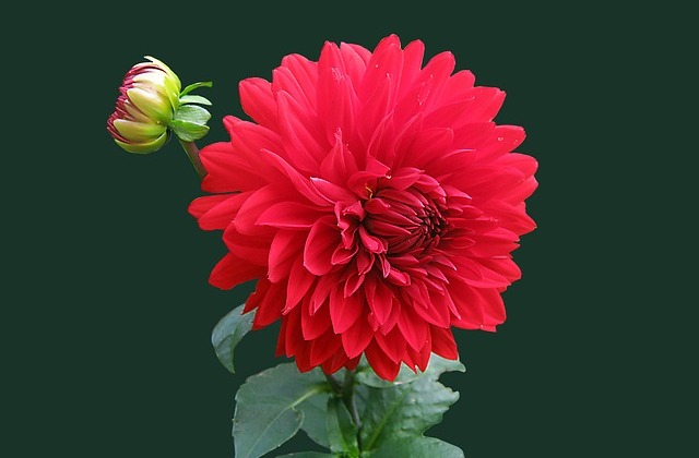 Flor bella roja