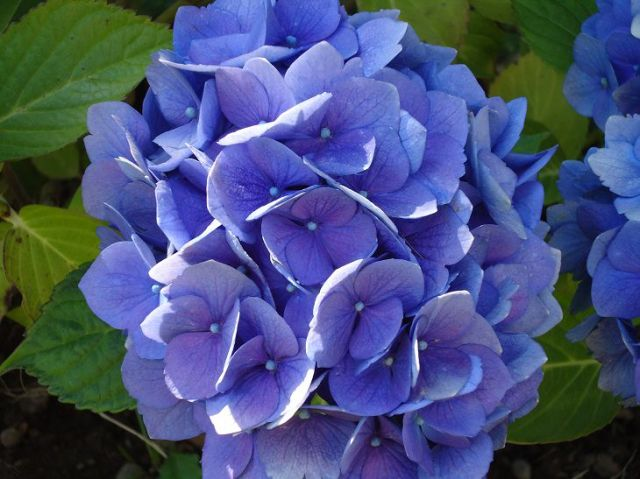Flor hortensia venenosa