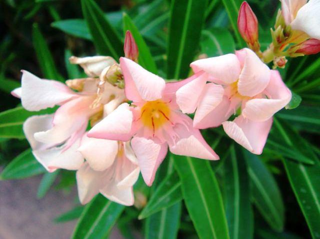 Flor adelfa