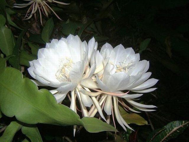Flor Kadapul 2